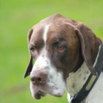 English pointer - pet photographs in Warwickshire