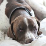 Pointer on bed - pet portraits Leamington Spa