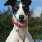 Beautiful lurcher - pet portraits leamington spa