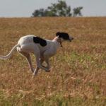 Belle running - pet portraits, Leamington Spa