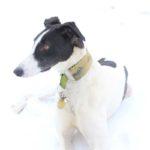 Lurcher in snow - pet portraits Leamington Spa