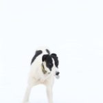 Lurcher in snow - pet portraits Leamington Spa