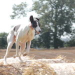 Lurcher running on hay bale - pet portraits