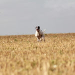 Lurcher running through golden hay