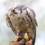 Falcon - pet portraits Leamington Spa