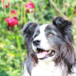 Spur the collie