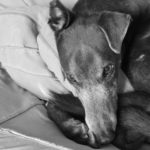 Black and white greyhound - pet portraits Leamington Spa