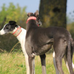 Two beautiful hounds - pet portraits Leamington Spa
