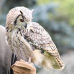 Owl - pet portraits, falconry days Leamington Spa
